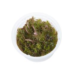 1-2-GROW! ROTALA WALLICHII