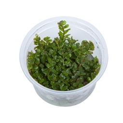 1-2-GROW! ROTALA ROTUNDIFOLIA