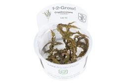 1-2-GROW! CRYPTOCORYNE CRISPATULA